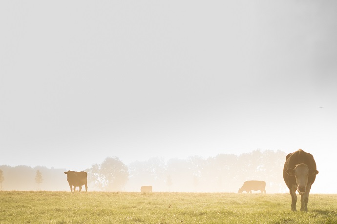 Cows Have an Innate Sense of Direction 03
