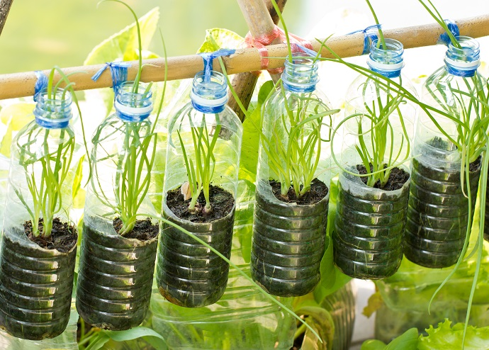 Spring onion grow in used water bottle, vegetables plant for urban life.