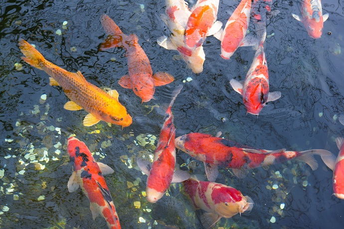 Koi are great for your Aquaponics system