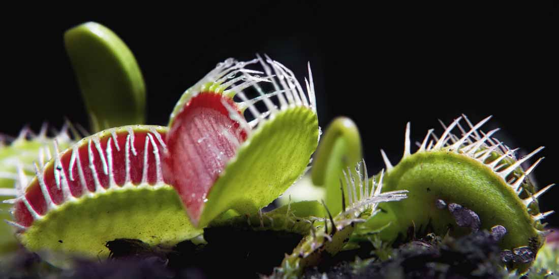 Venus Fly Trap, A Counting Plant